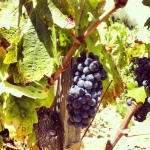 grapes_purple_wine