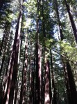 redwood_trees_forest